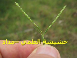 حشيشة الطمي –مداد4)