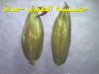 حشيشة الطمي –مداد62)