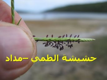 حشيشة الطمي –مداد77)