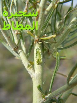 كريزوسامنوث0 – شجرة المطاط0)