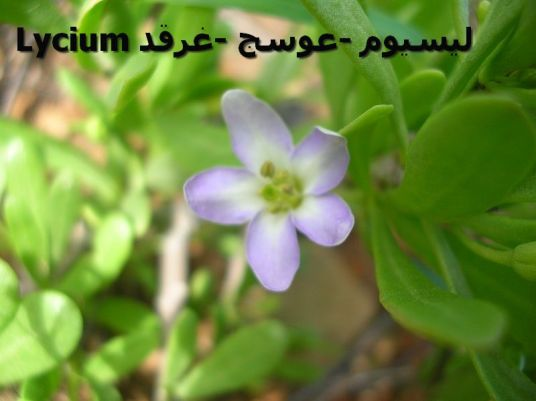 Lycium ليسيوم - الوسج - الغرقدcense