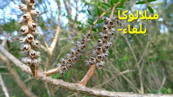 Melaleuca_hypericifolia_ميلالوكا -بلقاء)