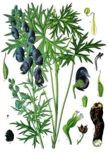 Aconitum_ferox_-