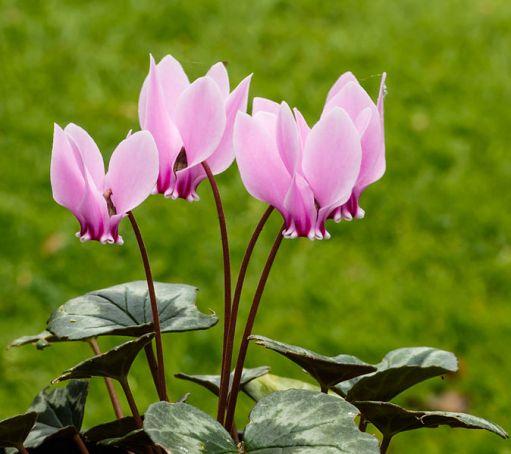 Cyclamen_hederifolium._