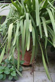-Cymbidium_aloifolium