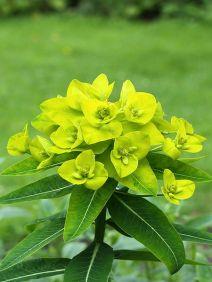 Euphorbia_oblongata