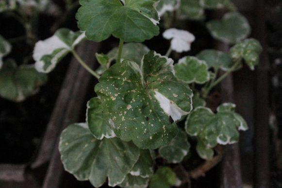 Pelargonium_طأسلية