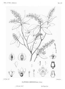 434px-Cliftonia_monophylla_-_Sargent_-_1891_-_vol._2_tab._LII