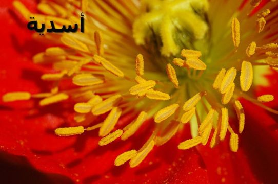 Iceland_Poppy_Papaver_nudicaule_'Champagne_Bubbles'_Redأسدية_Stamens