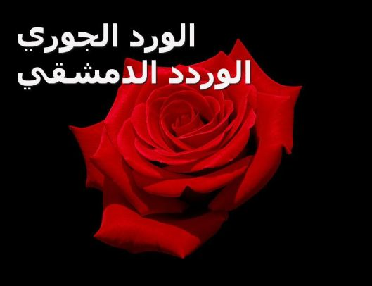 Red_rose_with_black_background