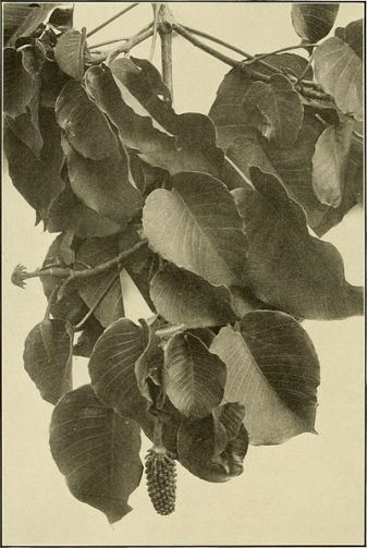 The_ornamental_trees_of_Hawaii_(1917)_(14579340678)