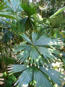 Chelyocarpus