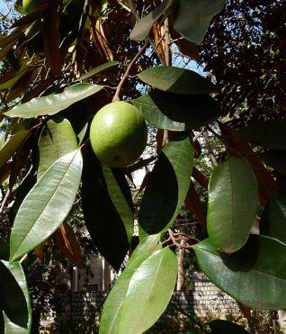 Chrysophyllumالكريزوفيلوم