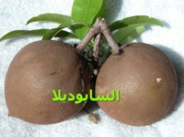 السابوديلاSapodilla_ it