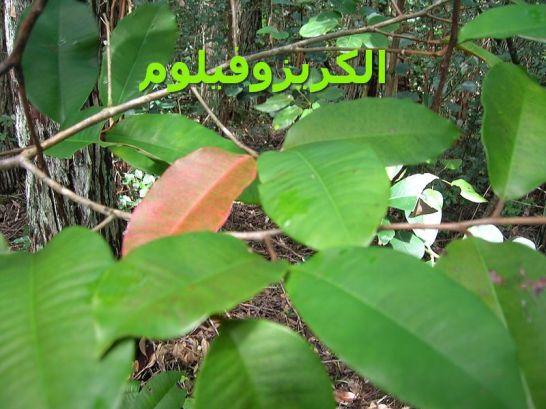 الكريزوفيلوم _5Chrysophyllum_oliviforme