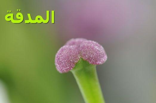 المدقة_Pistil_(by)