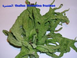 المشرة Ramalina_fraxinae_thalluss