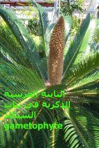 النابتة العرسية في نبات السيكاد