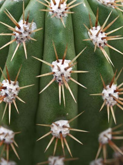 الوسائد الوبريةx-Echinopsis_candicans_(3)