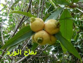 تفاح الورد_BT