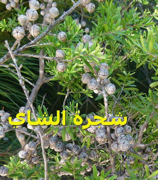 شجرة الشايLeptospermum_