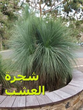 شجرة العشبia