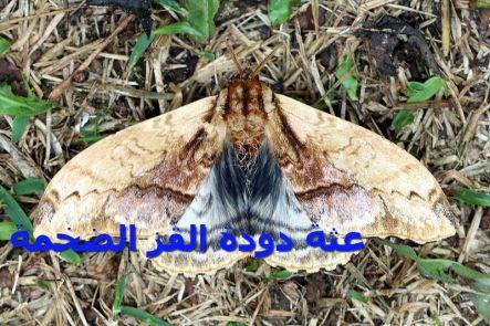 عثة دود ة القز الضخمةa)