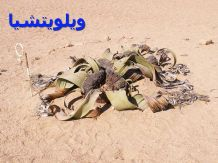 ويلويتشيا 0-Welwitschia_mirabilis