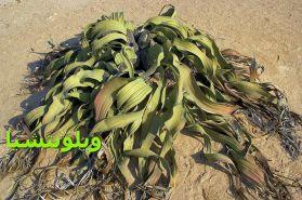 ويلويتشياWelwitschia_mirabilis