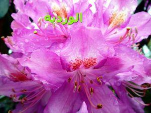 -Rhododendron_ponticaالوردية-tr