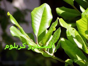 Sideroxylon_السيدرو كزيلومs