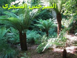 Tree-ferns_-السرخس الشجري -