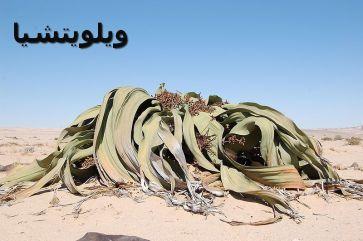 -Welwitschia_mirabilis_,ويلويتشيا 00