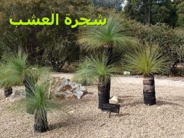 Xanthorrhoea_شجرة العشب)