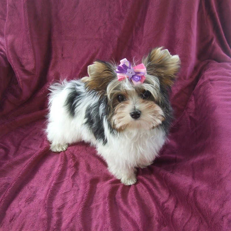 History Of The Yorkshire Terrier Yorkie Puppies For Sale