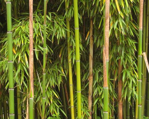 Bamboo was preferred in Mongolian bows