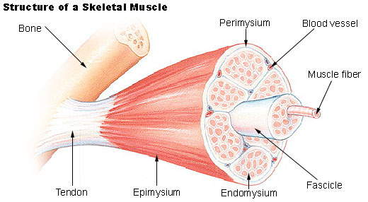 Advanced Anatomical Sciences of Muscles for Structural Bodywork, Balancing & Analysis