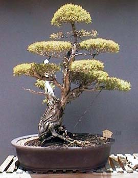 Australian Native Bonsai Western Australia
