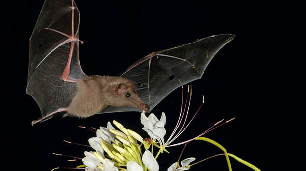 photograph showing a very long-nosed bat hovering over a tuft of creamy-white flowers