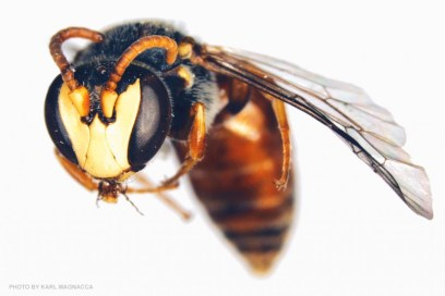 yellow faced bee
