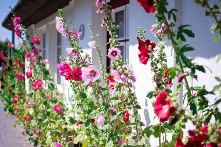 Roses trémières devant une maison à Lohme, sur l'île de Rügen