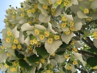 Fleurs de Tilleul