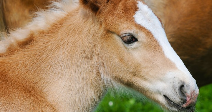 Prometea – The first ever cloned horse born in Cremona