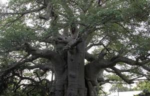 Sunland Baobab – The big tree in Modjadjiskloof