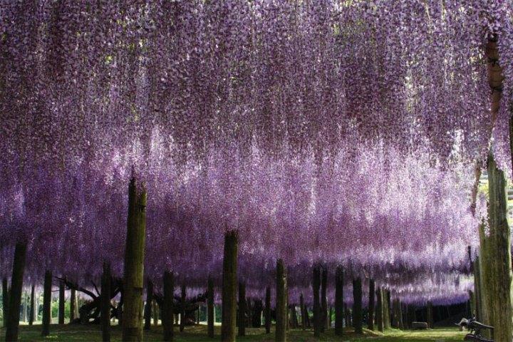 kawachi-fuji-garden-kitakyushu-japan-wisteria-6