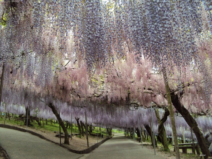 wisteria-tunnel-japan-2