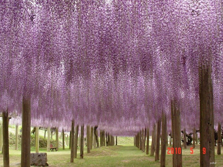 wisteria-tunnel-japan-3