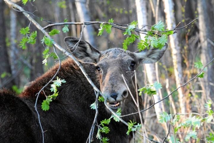 Biebrza River, Biebrza National Park - Biebrza Valley is the biggest house of elks in Poland / Waldemar Gorlewski / Agencja Gazeta