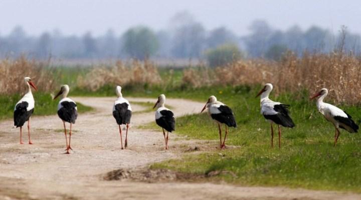Biebrza River, Biebrza National Park - a walking colony of white storks / Piotr Skórnicki / Agencja Gazeta