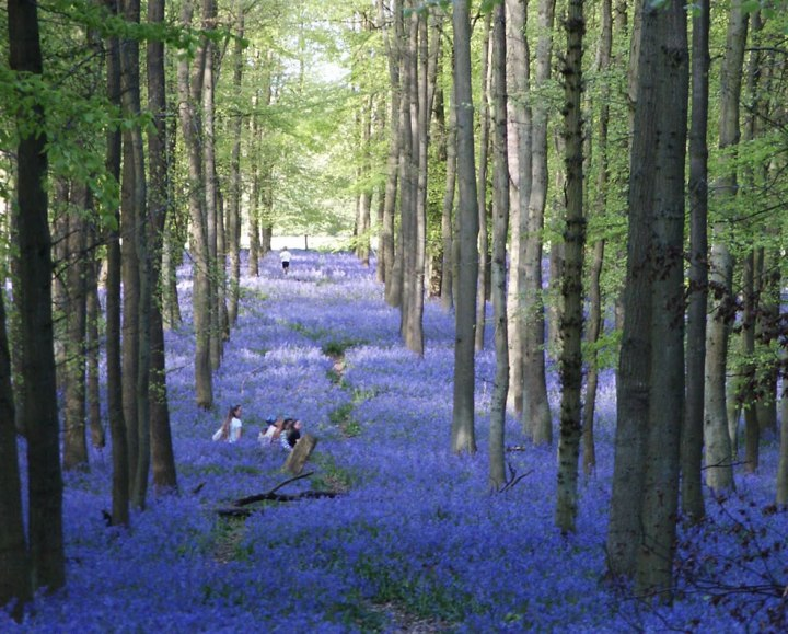 "Patch of bluebell woodlands called Dockey Wood between Hurst Farm and Ivinghoe Common, UK. The British bluebell woods are late to bloom this year. Matthew Oates, naturalist for the National Trust, said, ""The true beauty of our bluebells – the color, the scent, the view – makes them an essential and special element to our springtime experience."" Photo by Keith Hulbert and Paul Zarucki"